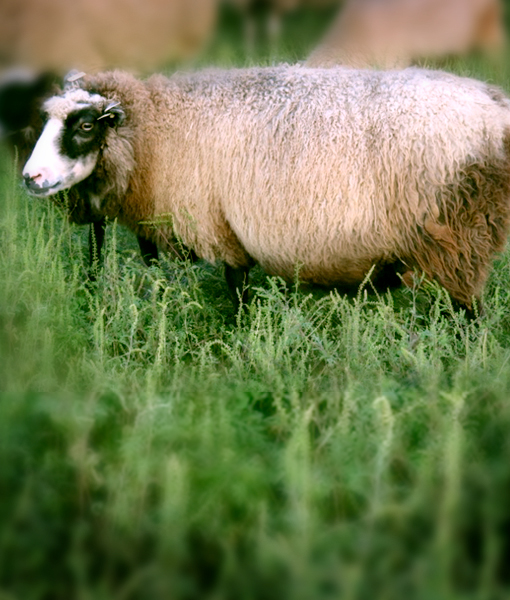 Olive a beautiful ewe at point of view farm