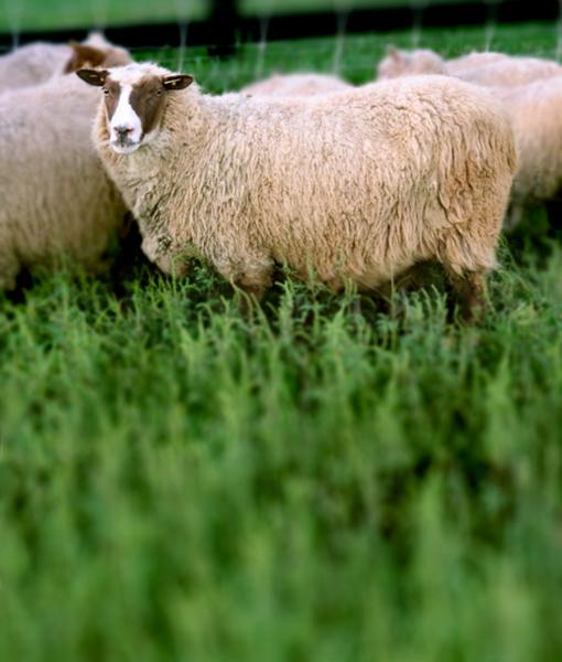 Sassafras the pretty ewe at point of view farm