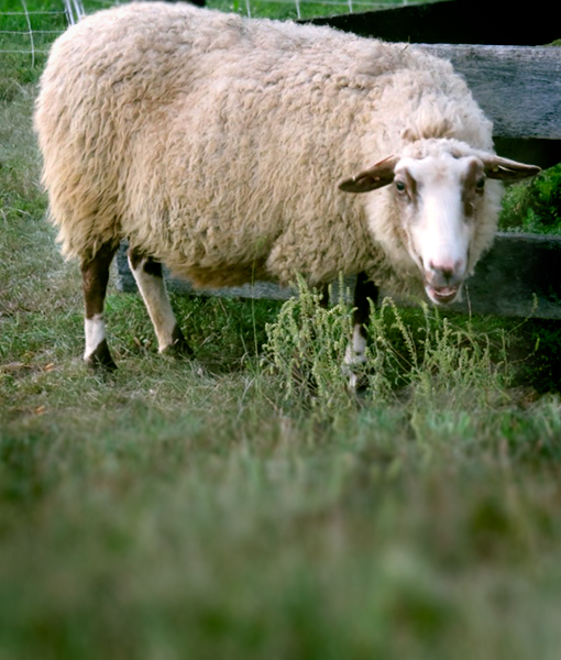 Sequoia a soft ewe at Point of view Farm