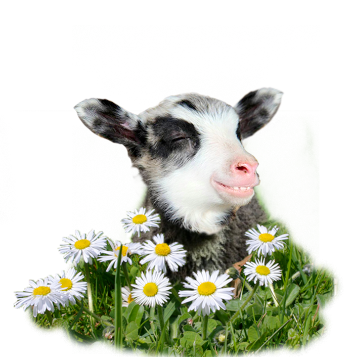 picture of baby lamb