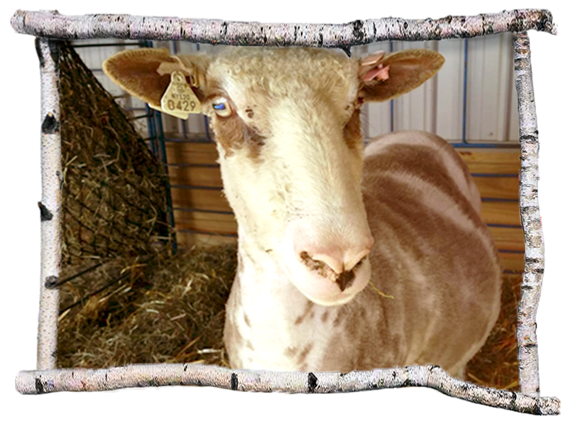 Ewe in wood picture frame