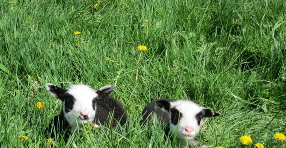 little lambs at finnsheep.net