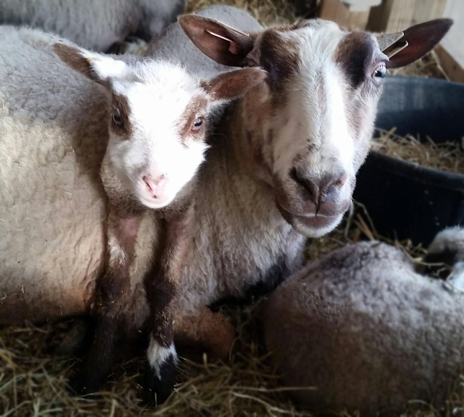 Mom and baby lamb