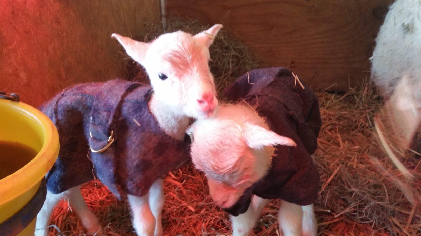 Lambs in coats