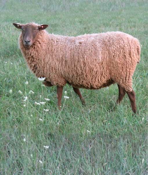 Gunnhild the Ewe