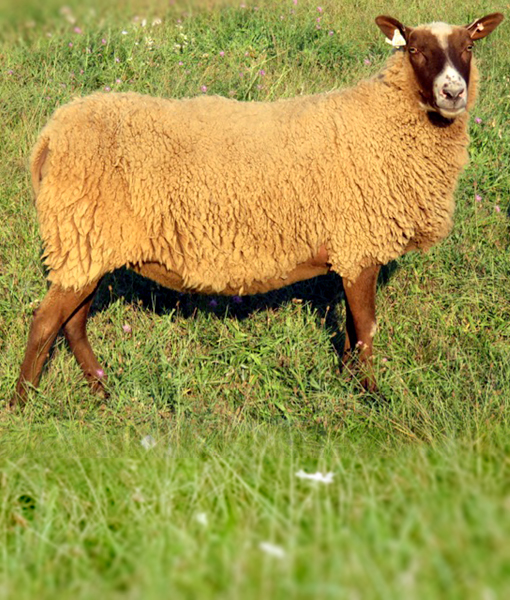 Helka the sassy ewe
