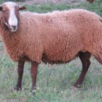 Bowie the Ram at finnsheep.net