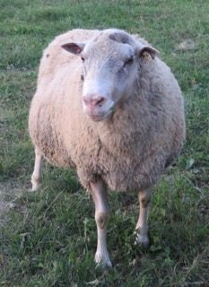 Finnsheep Ram named Jyrki at finnsheep.net