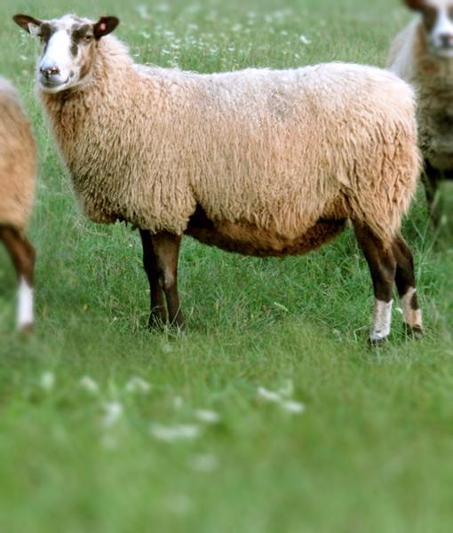 Ingrid a fancy ewe finnsheep.net