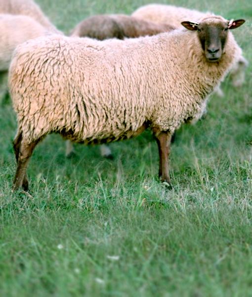 Iris the soft ewe finnsheep.net