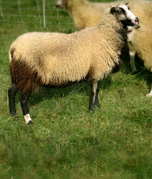 JoanJett a sporty ewe at Point of View Farm