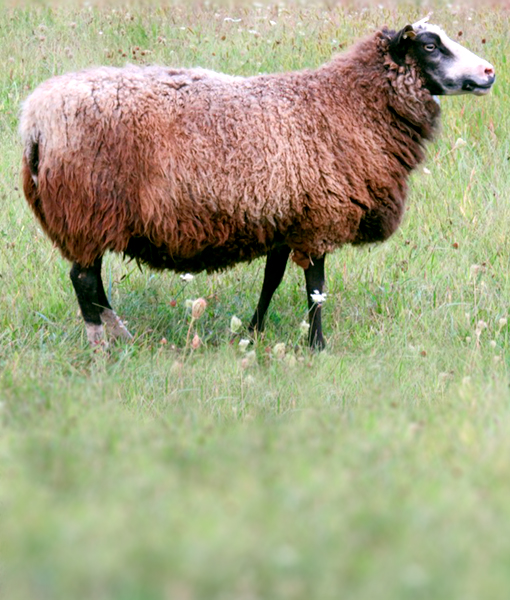 Lady Grey ewe finnsheep.net