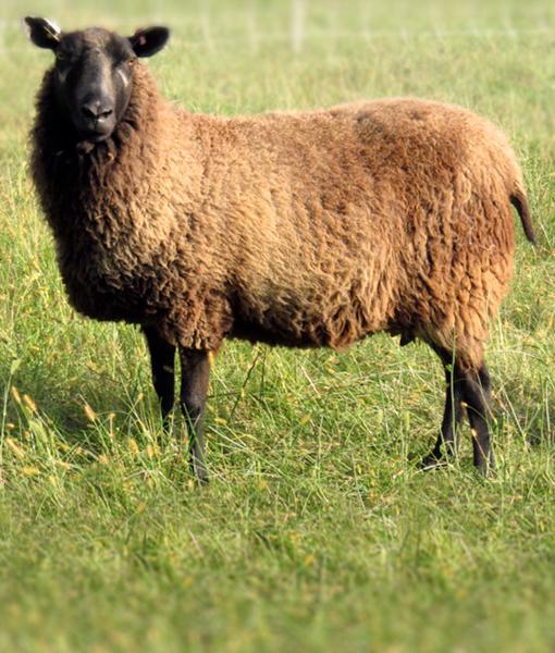 Maarika the dark ewe