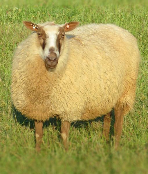 Nancy ewe point of view farm