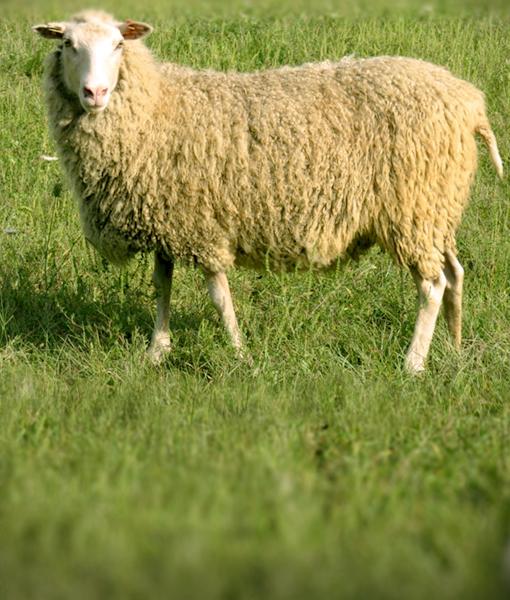 Sandy a ewe at finnhseep.net
