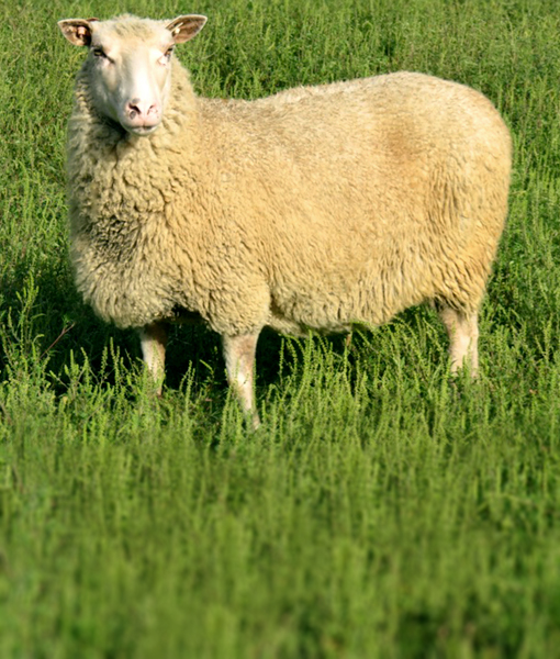 Zirconia the glimmering ewe at finnsheep.net
