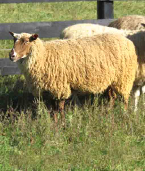 Carshena the Ewe