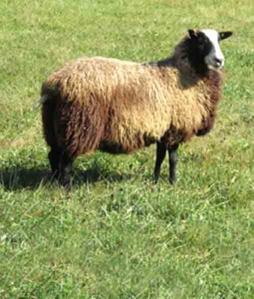 Ona the ewe