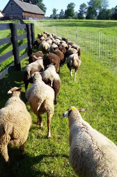 Finnsheep coming in from fields