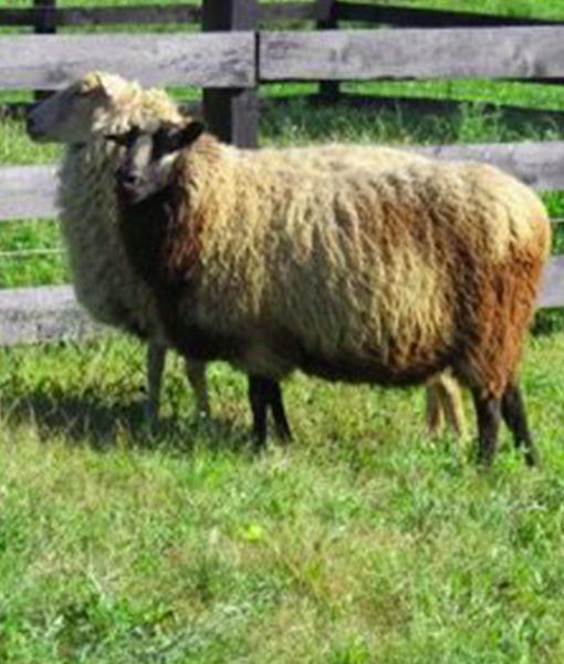 Ajax the Ewe