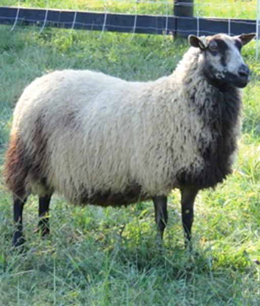 Carolina the Ewe