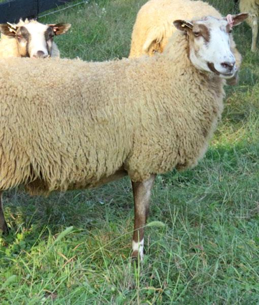 Blondie the ewe