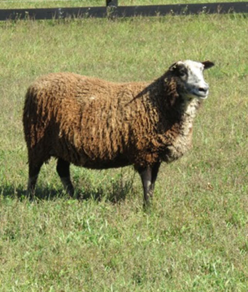 Janis the ewe